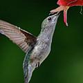 Hummingbird Kisses Flower by William Jobes