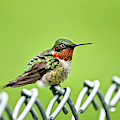 Hummingbird On A Fence by Christina Rollo