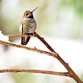 Hummingbird On Snowy Branch by Peggy Collins