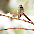 Hummingbird On Snowy Branch - Square Version by Peggy Collins