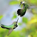 Hummingbirds Ensuing Battle by Christina Rollo