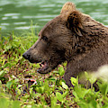 Hungry Bear by Chad Dutson