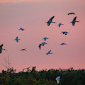 Ibsis Birds Flying In To Roost End Of Day by Dan Friend