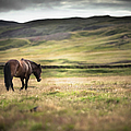 Icelandic Horse In Field by Ed Norton