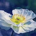 Icelandic Poppy In White by Julie Palencia