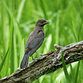 Immature Common Grackle by Todd Henson
