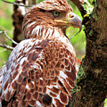 Immature Eagle by Debbie Stahre