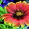Indian Blanket Flower Closeup by JC Findley