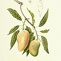 Indian Mango | Antique Plant by Nicoolay