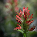 Indian Paintbrush .castilleja by Karen and Phil Rispin