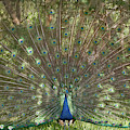 Indian Peacock displaying a plumage