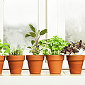 Indoor Herb Plant Garden In Flower Pots by Yinyang