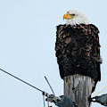 Iowa Eagle Perched by Edward Peterson