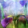 Iris Bed 6796 Idp_2 by Steven Ward