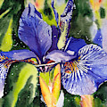 Iris In Bloom by Suzann Sines