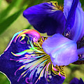 Iris Osirus by Cindy Greenstein