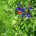 Irridescent Green Hummingbird At Deep Blue Flower by Sue Smith
