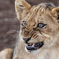Irritated Lion Cub by Mark Hunter