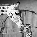 It Isnt Necking Its Mother Love..cleo by New York Daily News Archive