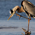 Itchy - Great Blue Heron by Meg Rousher