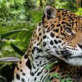 Jaguar by Arterra Picture Library