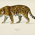 Jaguar  Panthera Onca  Illustrated By Charles Dessalines D' Orbigny  1806-1876  by Celestial Images
