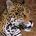 Jaguar Panthera Onca Wildlife Rescue by Dave Welling