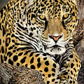 Jaguar Portrait Wildlife Rescue by Dave Welling