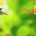 Jamaica, Hummingbird In Flight by Tetra Images