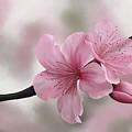 Japanese Cherry Flowers by Tanja Udelhofen