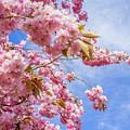 Japanese Cherry by Malgorzata Larys