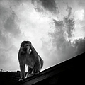 Japanese Macaque On Roof by By Daniel Franco