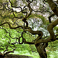 Japanese Maple Trees by Greg Pease