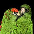 Jardine's Parrots by Debbie Stahre
