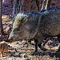 Javelina And Baby, Arizona by Dawn Richards