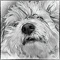 Coton De Tulear Dog by Lyl Dil Creations