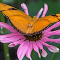 Julia Butterfly On Pink by Susan Rydberg