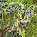 Juniper Berries by Cris Fulton