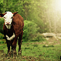 Just A Cow And A Bird by Trish Tritz