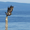 Juvenile Bald Eagle Taking Flight by Sharon Talson