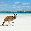 Kangaroo On Beach by Andrew Watson