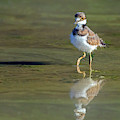 Killdeer Chick 5063-060719 by Tam Ryan