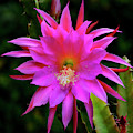 Kimnach's Pink Orchid Cactus, Vertical Portrait by Brian Tada