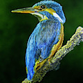 Kingfisher by Raymond Ore