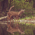 Kissing Deer Reflection by Dan Sproul