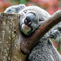 Koala Catching Zs by Rick Lawler