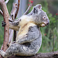 Koala In Tree by Dawn Richards