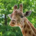 Kordofan Giraffe by Arterra Picture Library