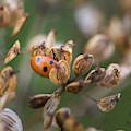 Lady Bird / Lady Bug In Flower Seed Head by Anita Nicholson