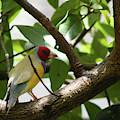 Lady Gouldian Finch Male - Dwp090108013 by Dean Wittle